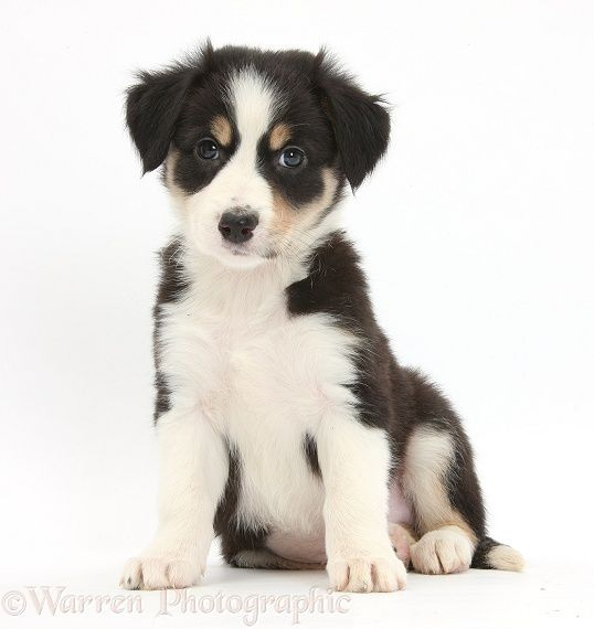 Dog Tricolour Border Collie Puppy 6 Weeks Old Photo Border