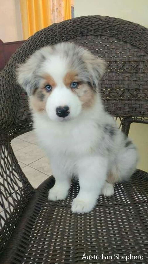 Photo of Australian Shepherd Facts Articles