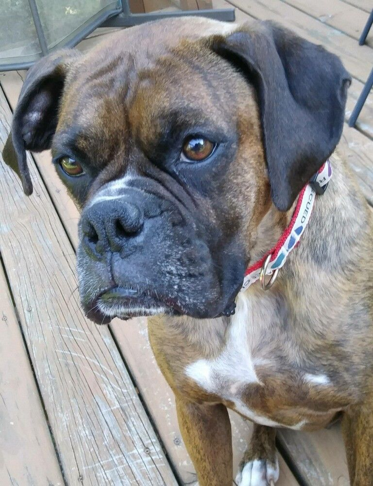 Boxer dog for Adoption in Woodbury, MN. ADN596667 on