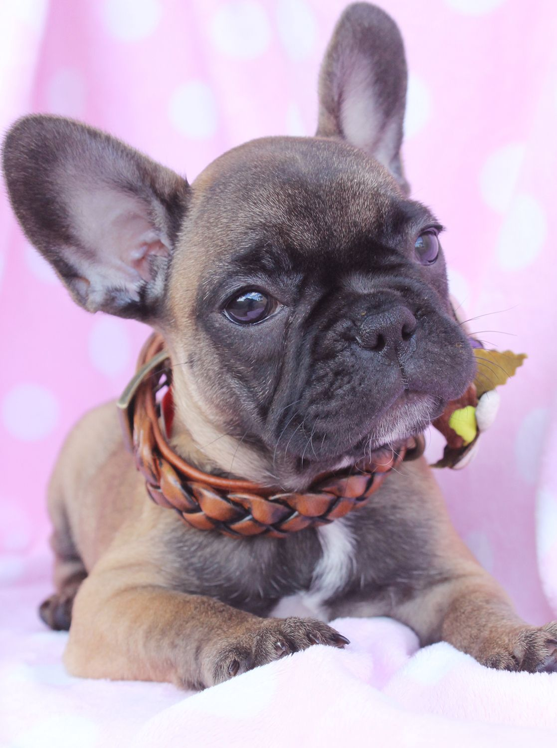 French Bulldog Puppies For Sale South Florida French