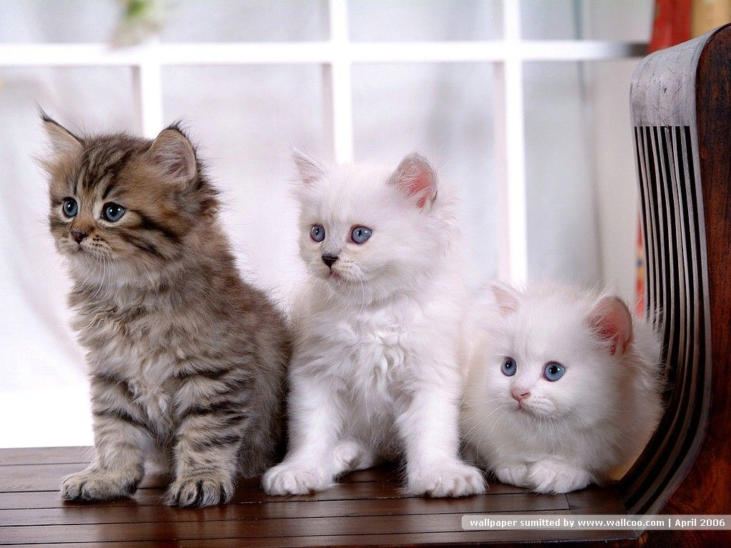 Persians Come In An Amazing Array Of Colors Divided Into Seven Color Divisions For Purposes Of Competition In The Kittens Cutest Cute Kittens Images Baby Cats