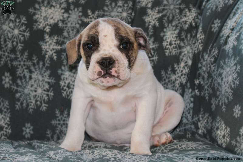Billy English Bulldog Mix Puppy For Sale In Pennsylvania English Bulldog Bulldog Puppies