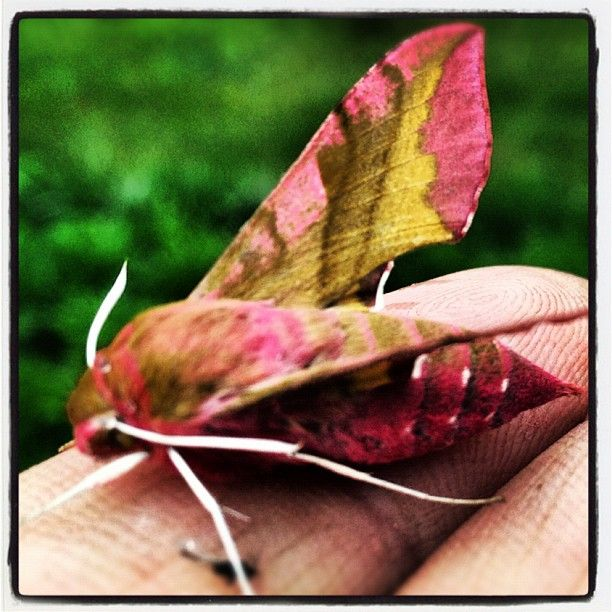 "Strange pink ""butterfly"" i found in our garden today."