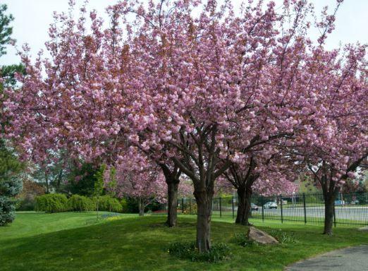 5ft Kanzan Cherry Blossom Tree 9l Pot 2 Years Old 89 99 Ornamental Cherry Ornamental Trees Prunus