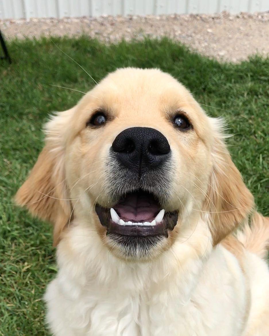 Timber Golden Boy With Images Golden Retriever Cute Puppies