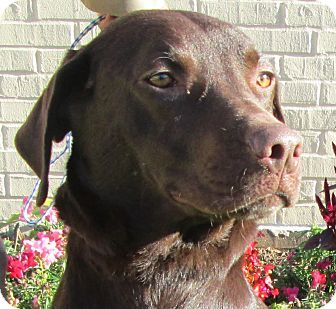Bentley S Story Bentley Is A Handsome Adult Chocolate Lab Looking For Forever Home If You Would Like To Learn More Oldham County Humane Society Labra