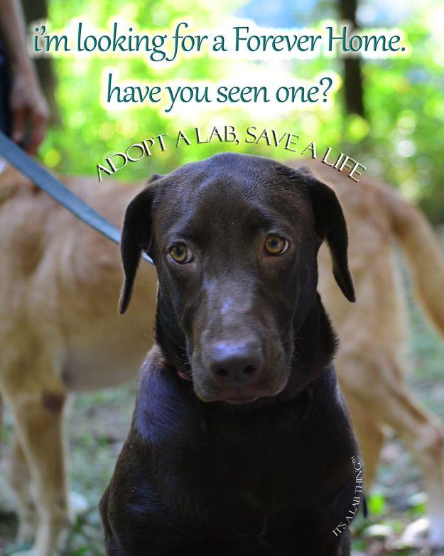 Adopt A Lab Save A Life Labrador Retriever Rescue Labrador Rescue Pet Dogs Puppies