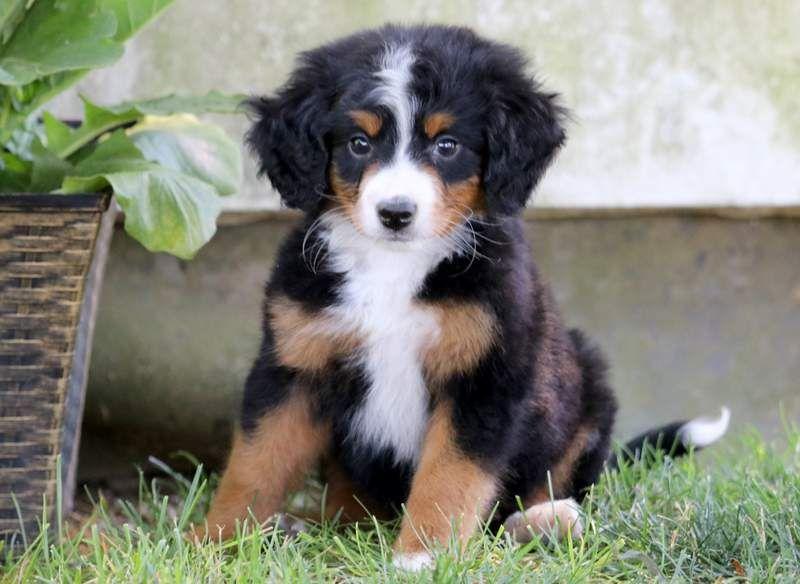 Sasha Bernedoodle Mini Puppy For Sale Keystone Puppies Bernedoodle Mini Puppies Bernadoodle Puppy