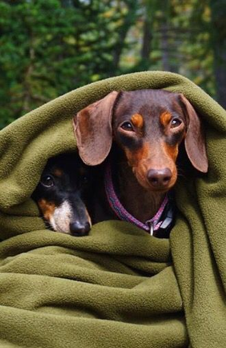 Typical Doxie S Dachshund Love Weenie Dogs Dog Love