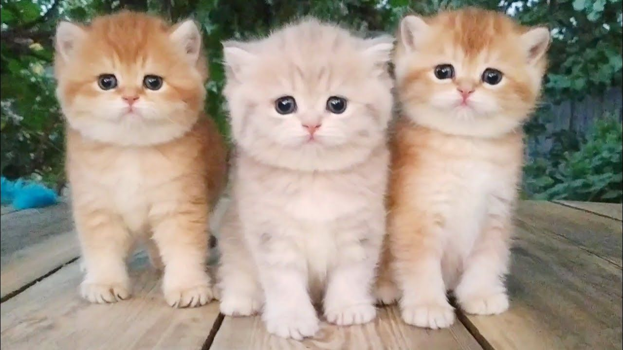 Three Little Teddy Kittens Cutest Baby British Kittens In 2020 Kittens Cutest Kittens Cutest Baby Cats And Kittens