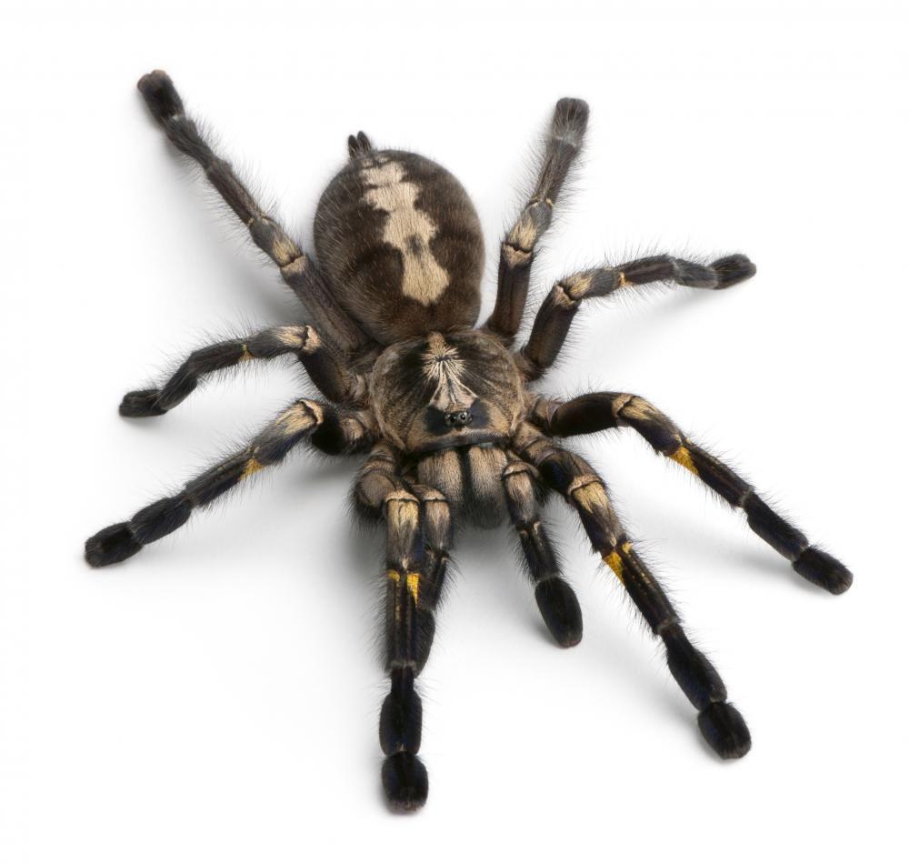 Tarantula Spider | VINYL WALL STICKERS | Pinterest