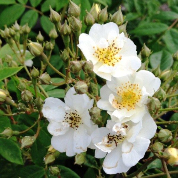 The Wedding Day Is A Rambling Rose Description From Stakehillnurseries Co Uk I Searched For This On Bing Images