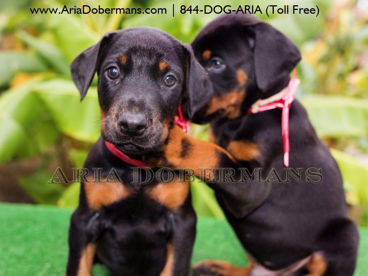 Aria Dobermans Dog Breeders Houston Tx Doberman Puppies For
