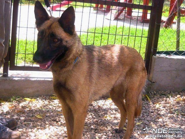 Ungultige Seite Home4dogs Belgischer Schaferhund Schaferhund