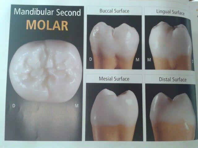 Pin de Hugo Morales Dental en Morfología dental | Pinterest | Dental ...