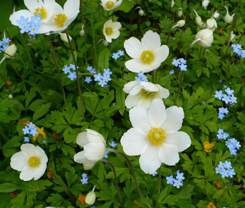 Anemones Plant Care And Collection Of Varieties Garden Org List Of Flowers Plants List Of Flowers Garden