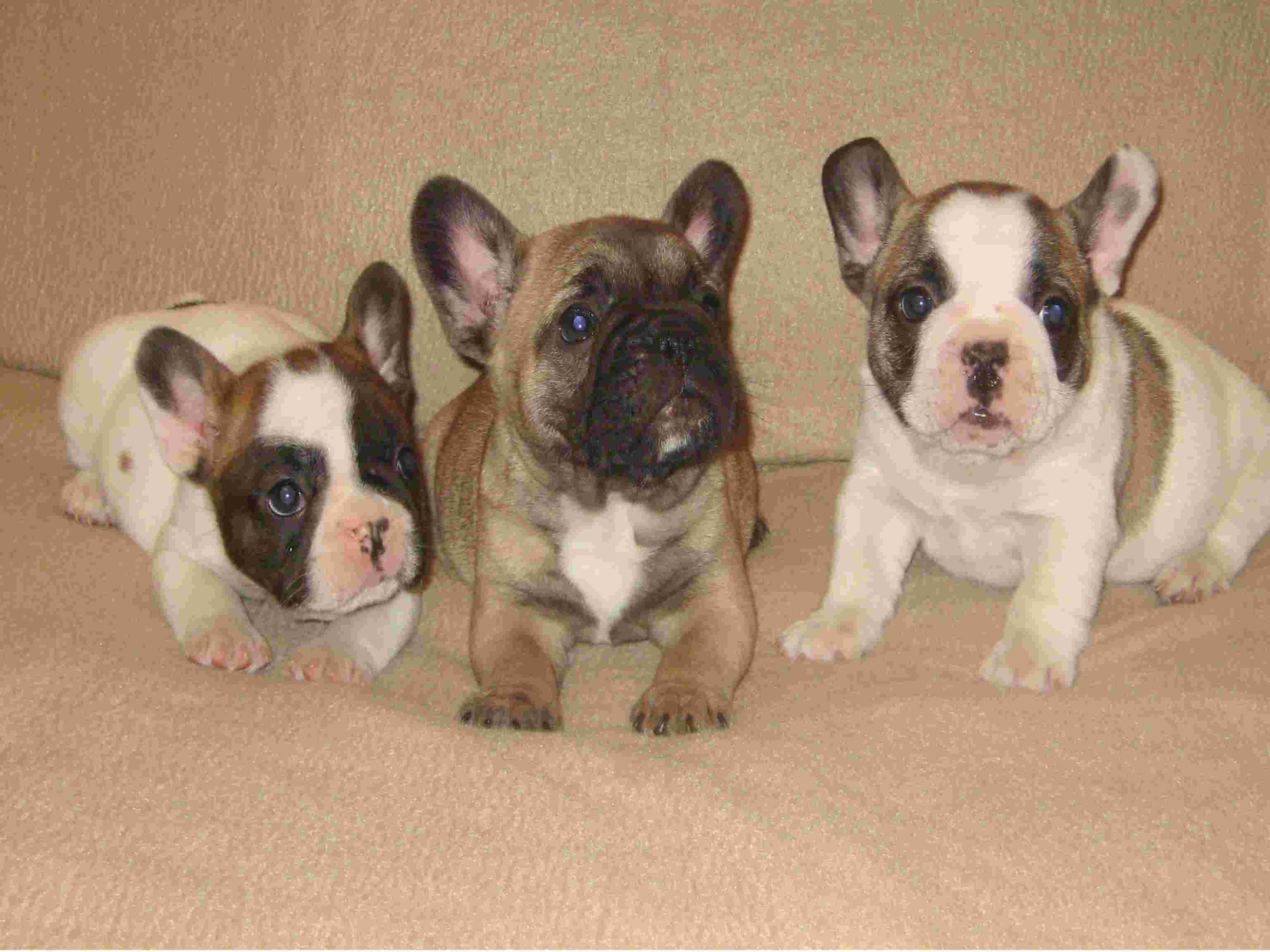 French Bulldog Puppies For Sale Puppy Breeder Dogs Wake Forest Nc
