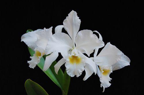 Cattleya Labiata Alba Cattleya Variegated Plants Orchids
