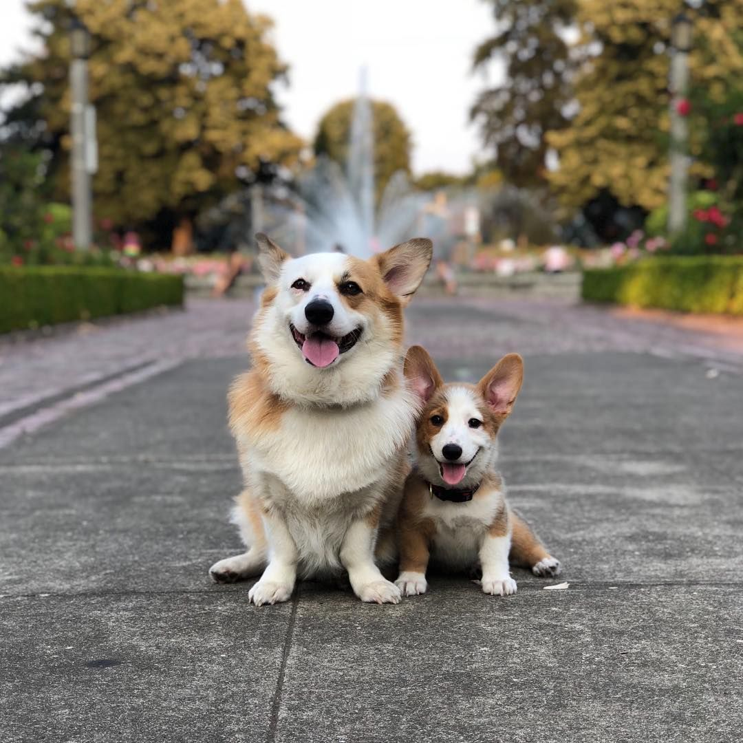 Dogsof On Instagram Mochi And Taro Are Two Mismarked Corgis Who