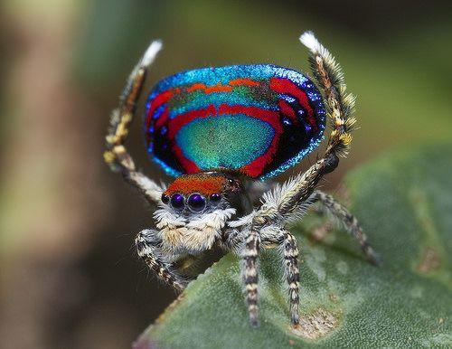 _X8A5764 peacock spider Maratus caeruleus