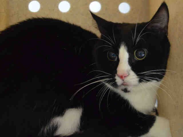 CHOCO CHIP - A1107903 - - Manhattan  ***TO BE DESTROYED 04/12/17*** Handsome Choco Chip needs a place to call his own – he is not doing well in the shelter environment and now needs placement by 12 noon! -  Click for info & Current Status: http://nyccats.urgentpodr.org/choco-chip-a1107903/