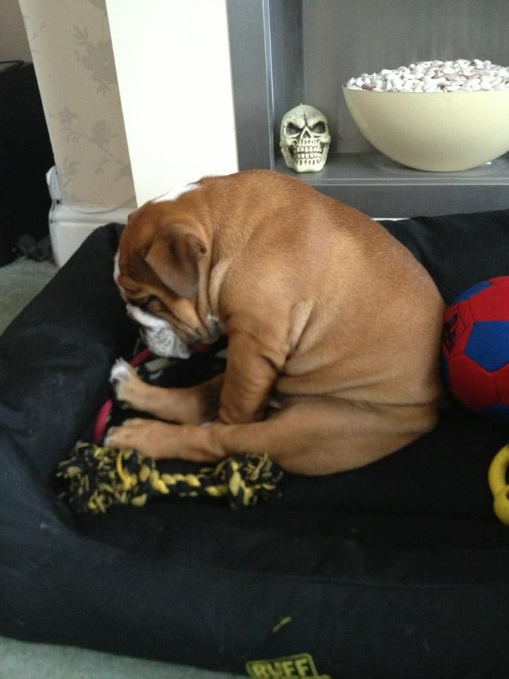 Bully Falls Asleep Sitting Up Awww Baby Dogs Funny Dogs Dogs
