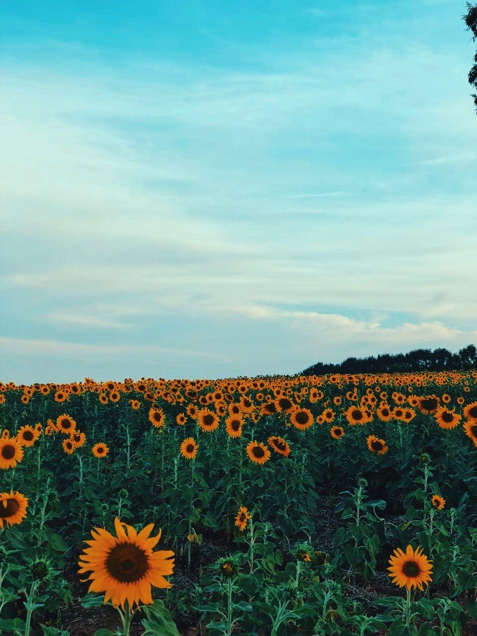 12june2019wednesday Nobody Cares Sunflower Wallpaper Beach Sunset Painting Apple Watch Wallpaper