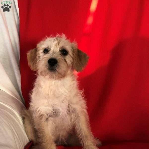 Amber Cockapoo Puppy For Sale in Ohio Cockapoo puppies