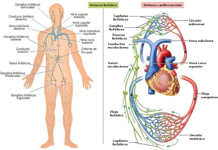 Efectos del masaje sobre los sistemas circulatorio y linfático ...