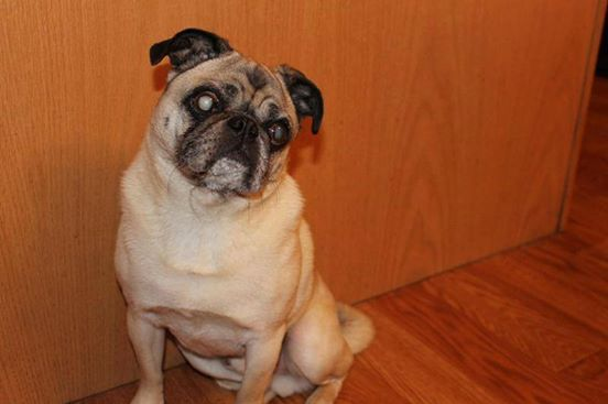 Tough Guy Teddy Pug From Pug Rescue Network In Southeastern