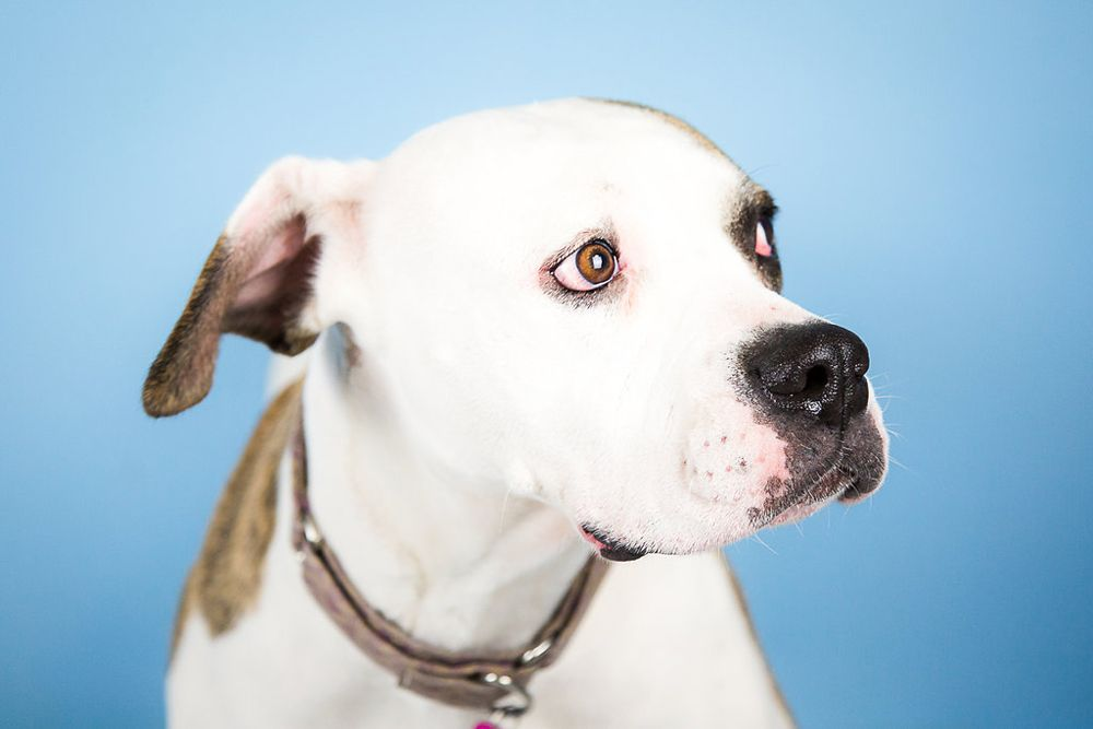 American Bulldog dog for Adoption in St. Louis Park, MN