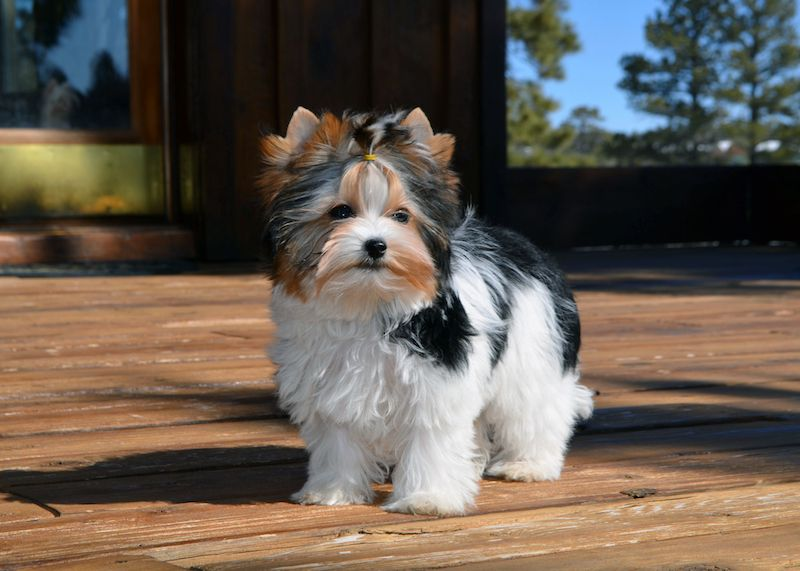 Rocky Mountain Biewer Terriers Dolores Pups Google Search With Images Biewer Yorkie Terrier Yorkie