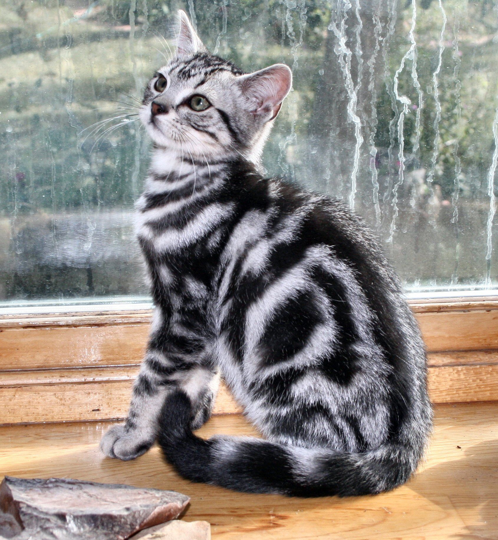 How much is american shorthair cat