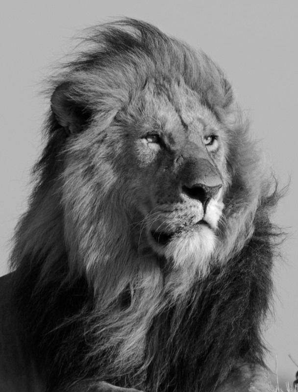 How S My Hair See The Photo Of This Statuesque Lion In Masai Mara