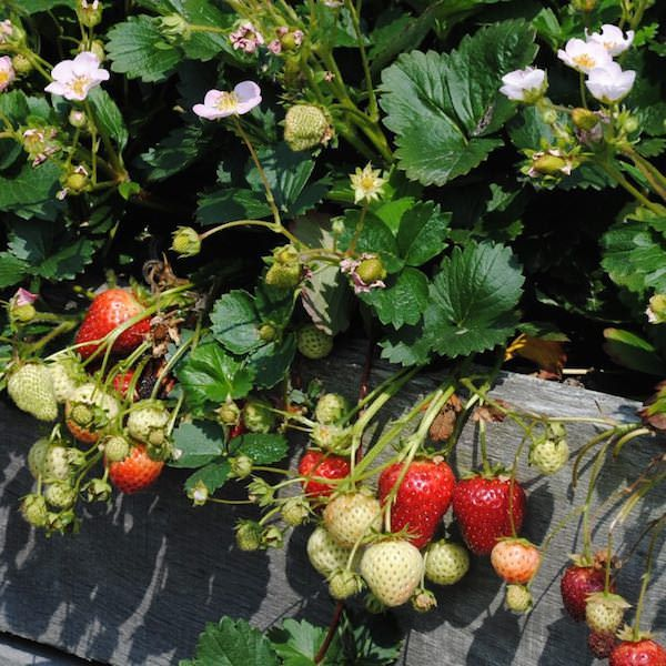 Strawberry merlan pink flowers and red fruits childrens garden strawberry merlan pink flowers and red fruits mightylinksfo Gallery