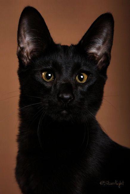 Incredible Beautiful Cats For Sale Super Savannah Cat Cats Savannah Cat Rescue