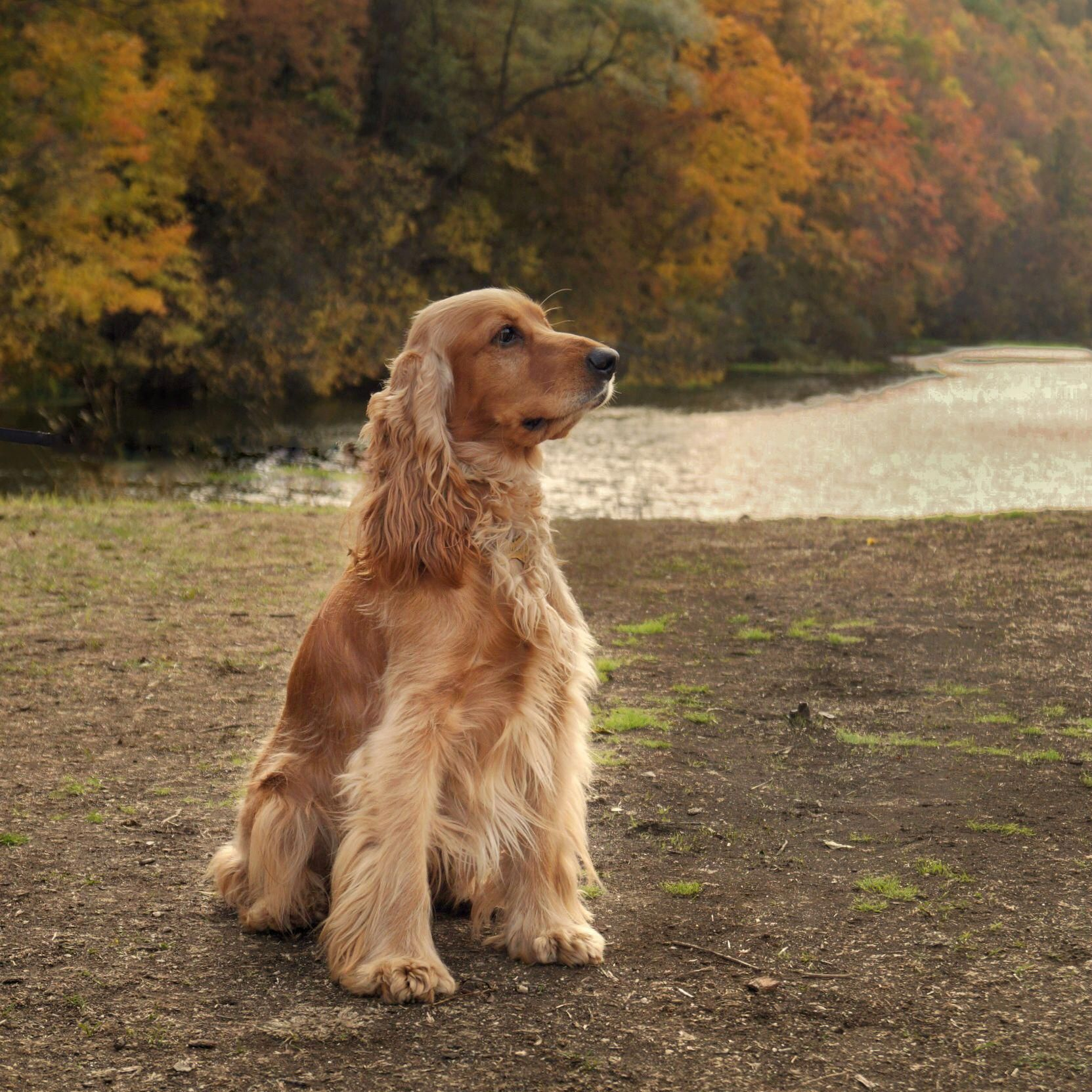 Figure Out Even More Information On American Cocker Spaniel