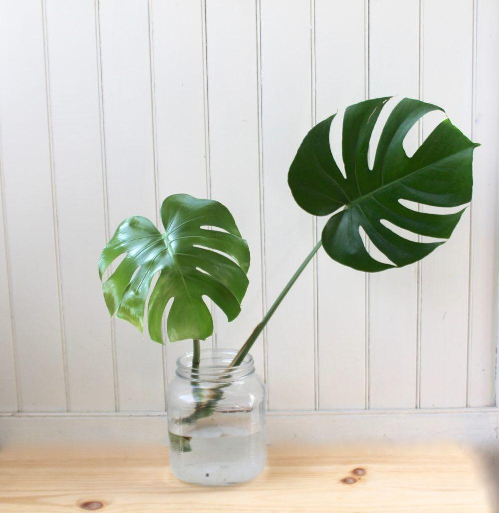 How To Propagate A Monstera Deliciosa Monstera Deliciosa Plants Propagating Plants