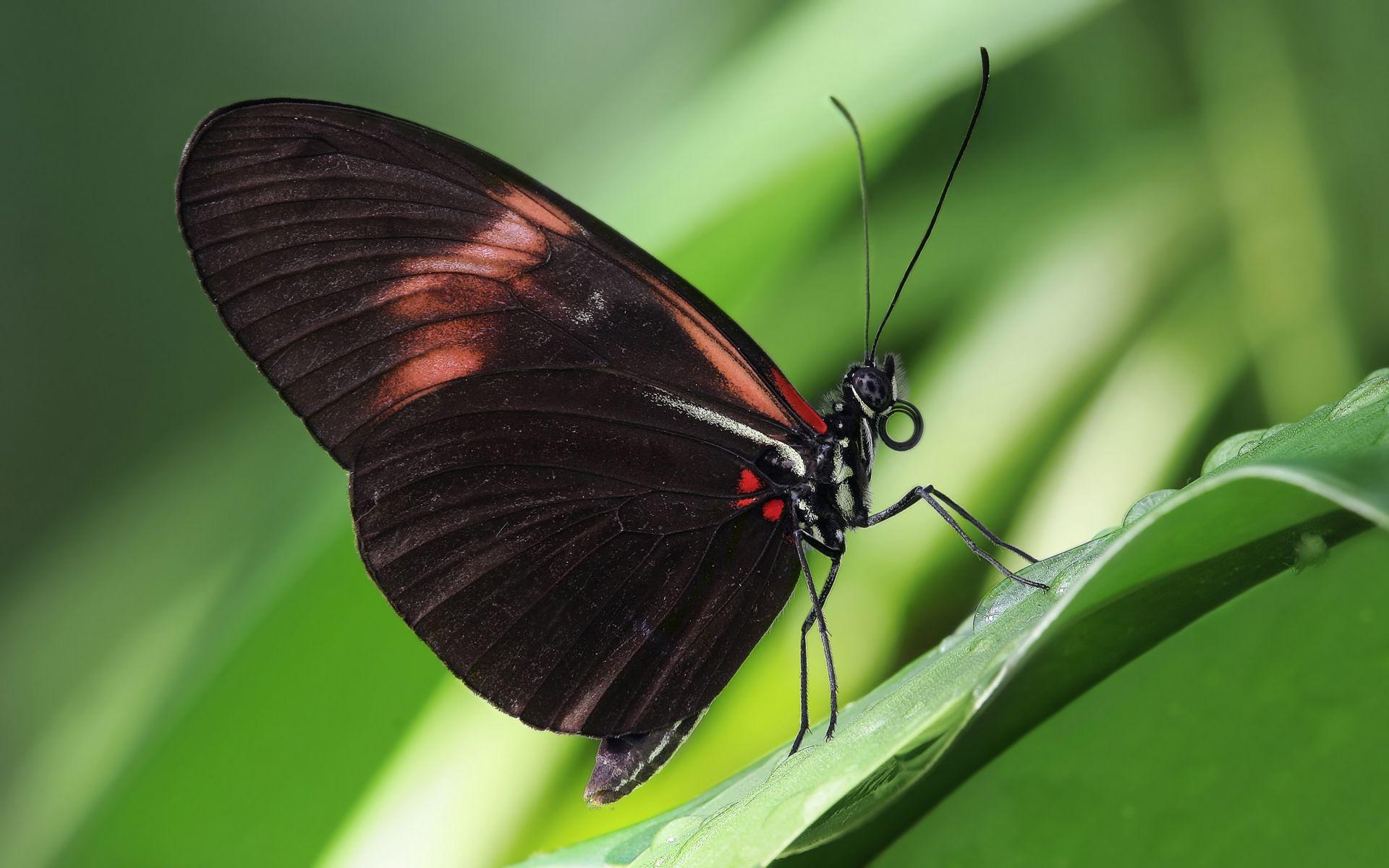Heliconius melpomene, es una especie de lepidóptero perteneciente a la familia Nymphalidae.