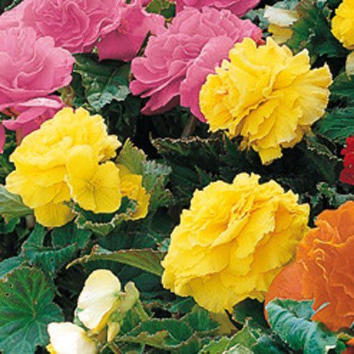Non Stop Begonia Yellow K Van Bourgondien Begonia Shade Flowers Window Box Flowers