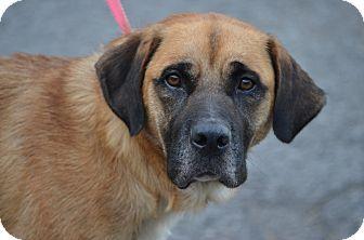 Morgantown Wv Mastiff Labrador Retriever Mix Meet Maisy A Dog