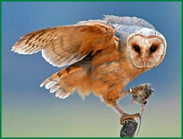 Makanan Barn Owl Anakan Hingga Dewasa Boneka Burung Hantu Burung Hantu Barn Owl Burung