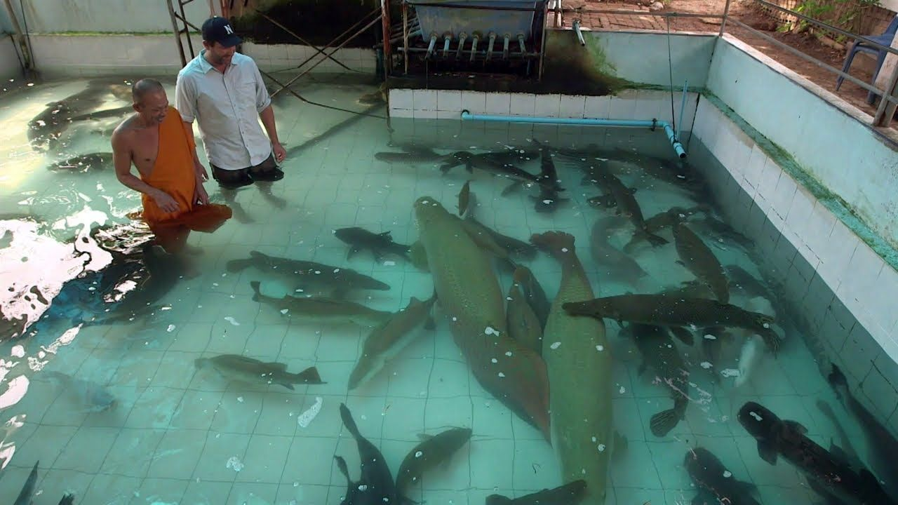 Monster fish 600 lb goldfish mother nature pinterest for Raising fish in a swimming pool