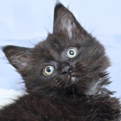 Ikat is a sweet kitten who is available or adoption at our