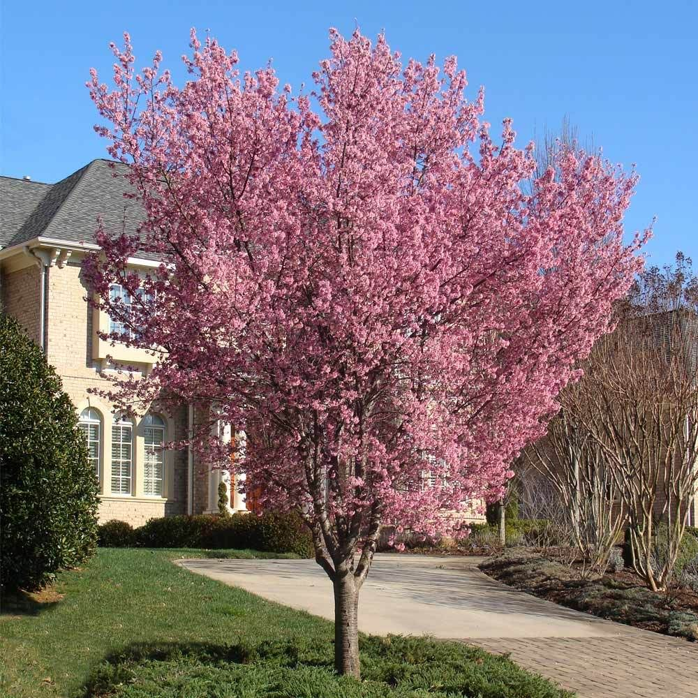 Full Size Picture Of Flowering Cherry Sheraton Cherry Kwanzan Cherry Kanzan Cherry Kanzan Prunu Flowering Cherry Tree Flowering Trees Weeping Cherry Tree