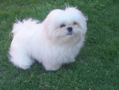Shih Tzu Puppies for sale in the Dallas Ft. Worth area of