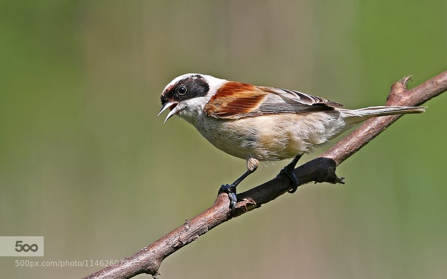 Eurasian Penduline Tit (Remiz pendulinus) by victorkalinskij. Please Like http://fb.me/go4photos and Follow @go4fotos Thank You. :-)