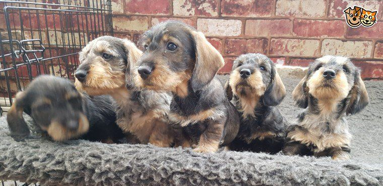 Stunning Standard Wire Haired Dachshund Wire Haired Dachshund