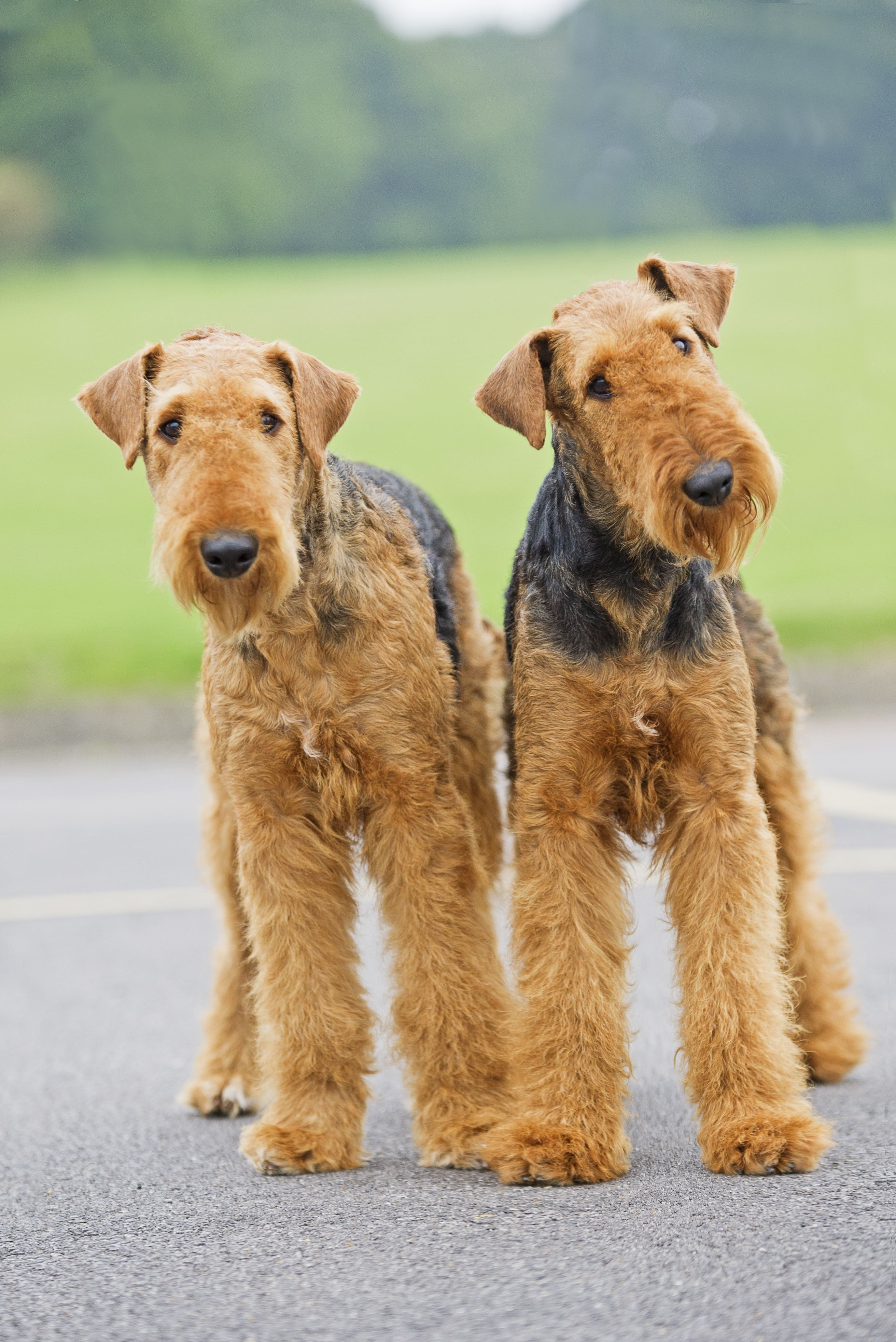 Pin By Sue Payton On Touessrok Airedales Airedale Terrier Puppies Airedale Terrier Airedale Dogs