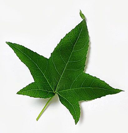 Sweet Gum tea was an herbal treatment for the flu and the